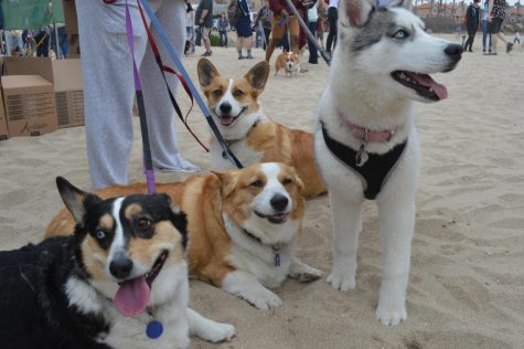 SoCal Corgi Beach Day Spring 2018