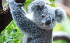 Koalas in Crisis: Australian Wildfires Ravage a Vulnerable Population